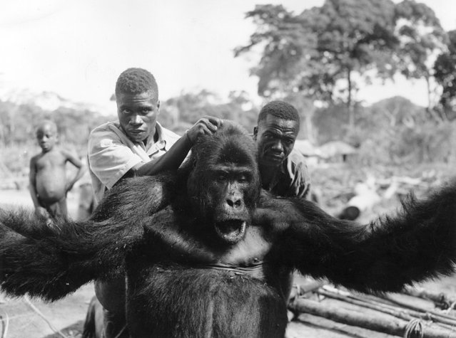 A gorilla being marched along immediatedly after its capture in the Belgian Congo, circa 1960. (Photo by H. Goldstein/Central Press)