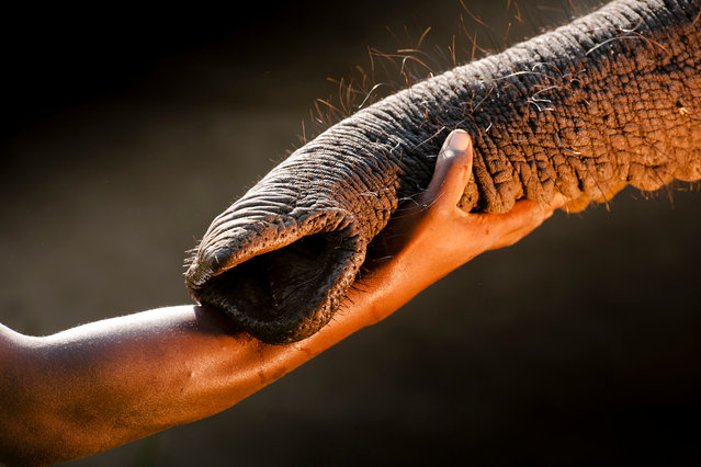 The mahout who has raised this elephant orphan from SA has formed a trusted bond. The elephants are raised to maturity and released as part of a long term study of rehabilitated animals in Abu Camp, Okavango, Botswana. (Photo by Chris Packham/Photographers Against Wildlife Crime/Wildscreen/The Guardian)