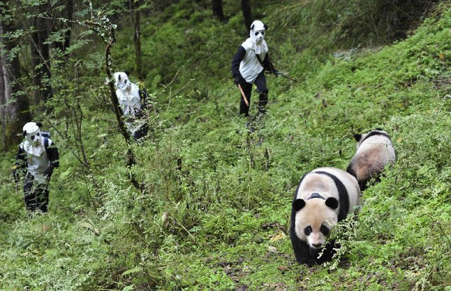 Researchers try to approach giant panda Taotao and its mother Caocao in Wolong National Nature Reserve in China October 7, 2012. Taotao and its mother Caocao were transferred down from a 2,100-meter high mountain to Hetaoping Research and Conservation Center for a health examination and to be prepared for reintroduction to the wild. Researchers wore panda costumes to ensure that the cub's environment was devoid of human influence, according to local media. (Photo by China Daily/Reuters)