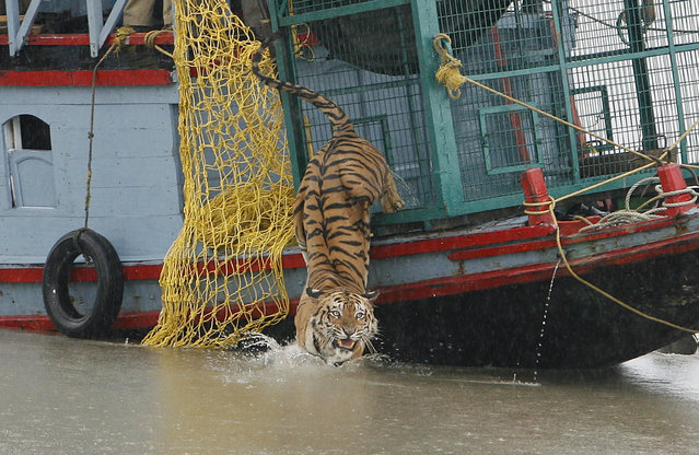 A male tiger is released into the waters of the river Harikhali at the Sundarbans delta forest, about 150 km (93 miles) south of Kolkata July 22, 2009. (Photo by Parth Sanyal/Reuters)