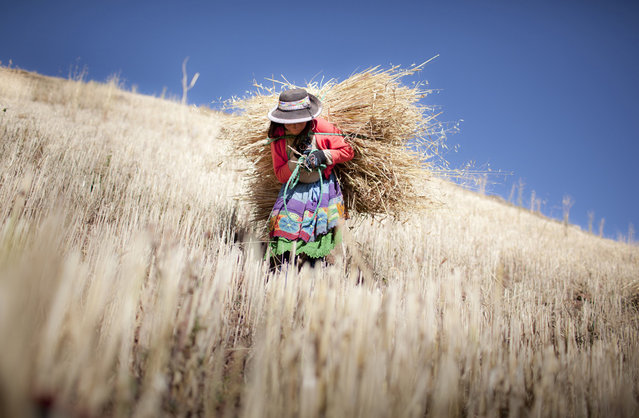 """Luzmila: Luzmila, 12 years old, carries to her house the barley that she harvested by herself on her family's little farm situated on the mountain behind their house in a rural village in the Andes Mountains called Sotopampa, in Peru. Once a year, they harvest the barley and then they consume it during the following year. In these communities of indigenous peoples, children work helping their families. It is very hard for the government to maintain a balance between child labor laws and the ancient traditions of these populations that include some difficult tasks for kids"". (Photo and comment by Alejandro Kirchuk/National Geographic Photo Contest via The Atlantic)"
