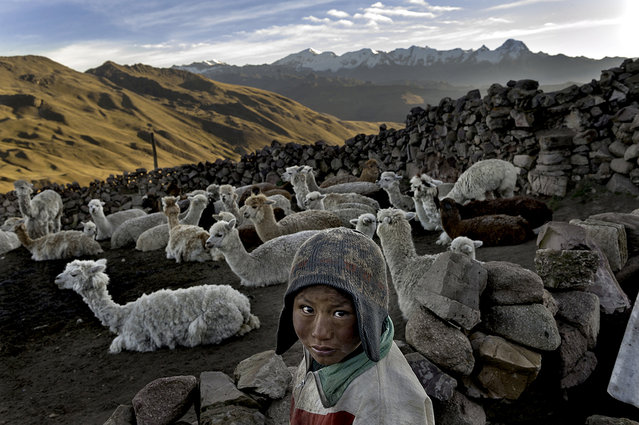 Following the death of his father, Alvaro Kalancha Quispe, 9, helps his family survive by herding. He opens the gate to the stone pen that holds the family's alpacas and llamas each morning so they can graze throughout the hillsides during the day. He then heads off to school, but must round them up again in the evening in the Akamani mountain range of Bolivia in an area called Caluyo, about an hour from the city of Qutapampa. (Photo by Renée C. Byer/Living on a Dollar a Day)