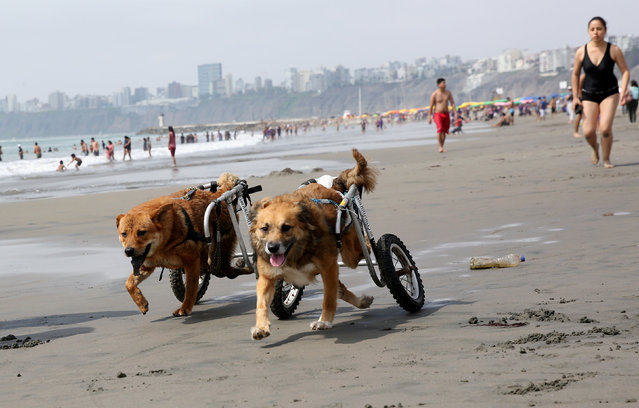 Pelusa (L) and Huellas, paraplegic dogs in wheelchairs from Milagros Perrunos dog shelter play at Pescadores beach in Chorrillos, Lima, December 8, 2017. (Photo by Mariana Bazo/Reuters)