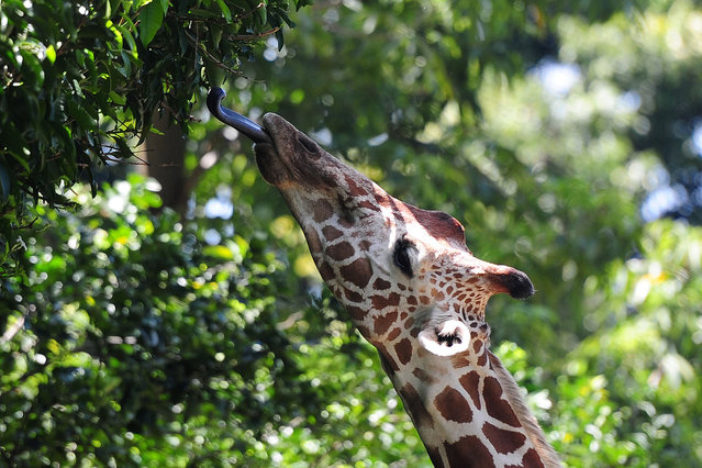 A giraffe eats a leaf at Sri Lanka's main zoo in Colombo on October 1, 2015. (Photo by Lakruwan Wanniarachchi/AFP Photo)