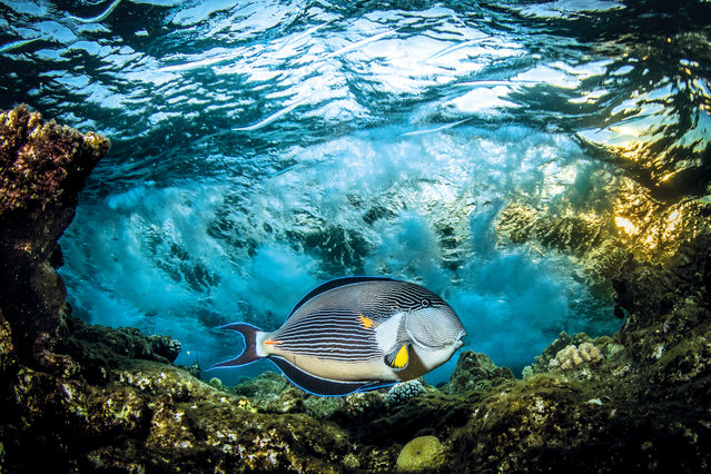Under Exposed: Saeed Rashid (UK) – Sohal surgeonfish, Fury Shoals, Red Sea, Egypt. In the summer months, sohal surgeonfish tend to mate and lay eggs on the top of the reefs in the Red Sea. They fiercely defend their egg patch and rush upon anything that invades that area. They will often swipe their tail, which has a bony protrusion sticking from it that can be as sharp as a surgeon's scalpel, towards the intruder. Because of this you need to make sure you don't get too close as a photographer's hands make a very easy target and often get cut. (Photo by Saeed Rashid/The Outdoor Photographer of the Year/The Guardian)