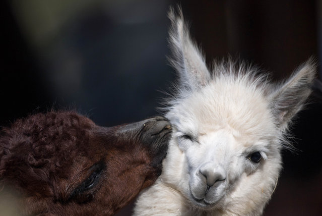 Two alpacas are pictured at the zoo in Frankfurt am Main, western Germany, on February 23, 2018. (Photo by Fabian Sommer/AFP Photo/DPA)
