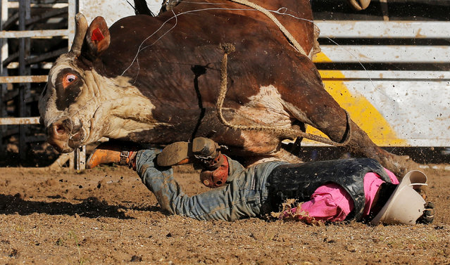 Aboriginal bull rider Sally Malay from the Kimberley region in the Western Australian outback is thrown off a bull during competition at the Deni Ute Muster in Deniliquin, New South Wales, October 1, 2016. (Photo by Jason Reed/Reuters)
