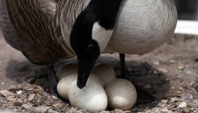 A Canada goose that has taken up residence on near the Wisconsin Ave. Bridge on Tuesday, April 30, 2013, checks her eggs. (Photo by Mike De Sisti)