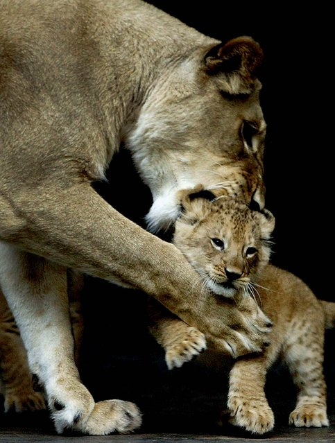 An African lion plays with one of her cubs at the Taronga Zoo in Sydney, Australia. (Photo by Chris McGrath/Getty Images)