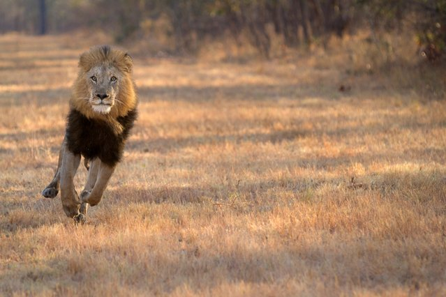"""A male lion at full charge is something that every wildlife photographer wants to capture. This dominant male lion was chasing a female off a carcass that her and her pride had killed. They came straight past us in the safari vehicle, oblivious to our presence. Hearts were in our mouths but fingers were still on the shutter. It was an amazing display of speed, power and strength,"" says Chris Renshaw. (Photo by Chris Renshaw)"