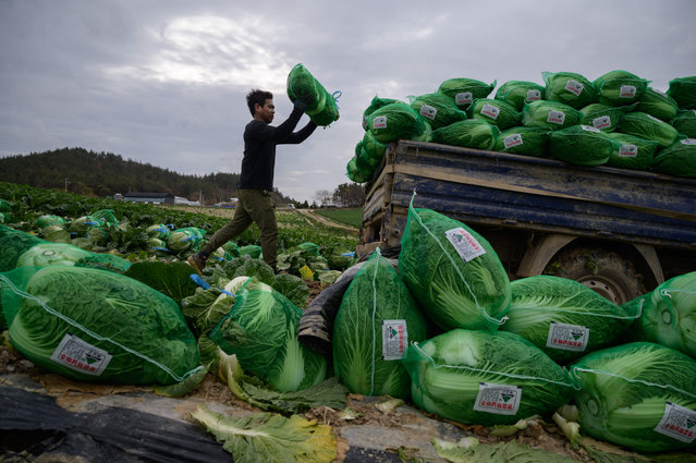 In a photo taken on November 18, 2020 a worker from Thailand loads cabbages onto a truck during a harvest at a cabbage farm near Mokpo. Originally a means of preserving the vegetable during winter, kimchi is emblematic of Korean cuisine and accompanies almost every meal served in the country, whatever its culinary origins, with kimchi-making still an important annual ritual for many families. (Photo by Ed Jones/AFP Photo)