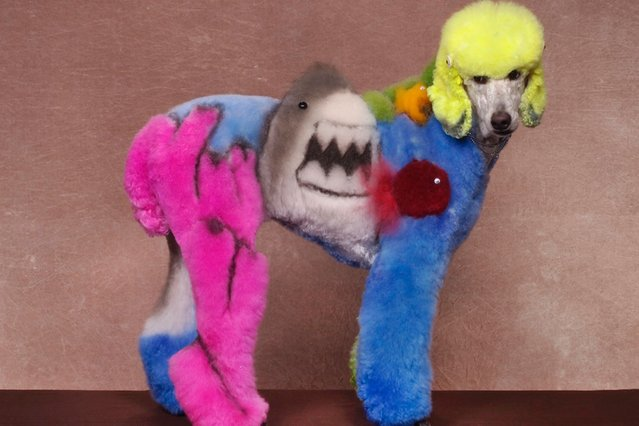 A dog with a shark design at a creative grooming competition in Hershey, Pennsylvania. (Photo by Ren Netherland/Barcroft Media)