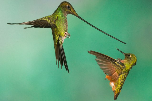 A sword-billed hummingbird, left, and a chestnut-breasted coronet battle over a hummingbird feeder near Papallacta, Ecuador, on July 14, 2013. (Photo by Nate Chappell/Barcroft Media)