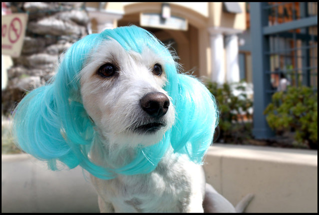 Anime Blue Pet wig. (Photo by Cushzilla/BNPS)