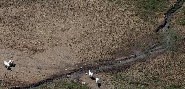 An aerial view shows cows on the cracked ground of Atibainha dam, part of the Cantareira reservoir, during a drought in Nazare Paulista, Sao Paulo state February 12, 2015. (Photo by Paulo Whitaker/Reuters)