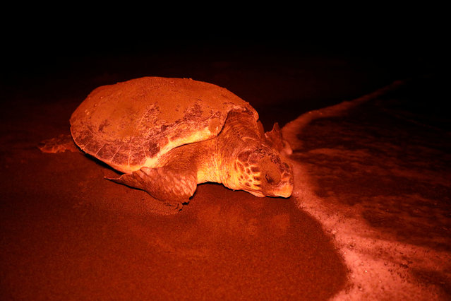 A sea turtle returns to the sea after laying eggs at Iztuzu Beach near Dalyan in Mugla province, Turkey on September 4, 2018. (Photo by Umit Bektas/Reuters)