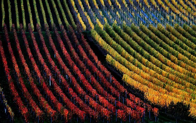 Vineyards are autumnally colored near Marktbreit, Germany, October 30, 2013. (Photo by Karl-Josef Hildenbrand/DPA)