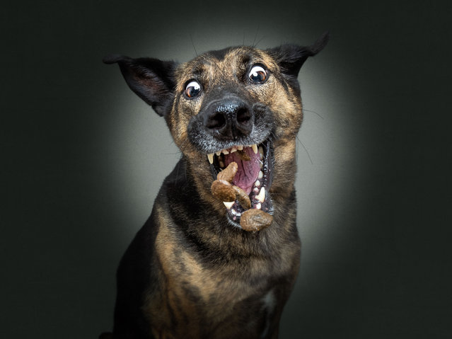 "This unique collection of photographs shows the concentrated faces of dogs just before catching their beloved treats. Professional photographer Christian Vieler, from Germany, shot the latest series of his ""Dogs Catching Treats in Trouble"" collection with hilarious results. Here: Lala the mixed breed. (Photo by Christian Vieler/Caters News Agency)"