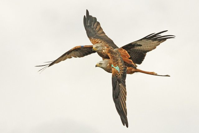 Barry Forbes took this picture called Tangled Kites. (Photo by Scottish Seabird Centre)