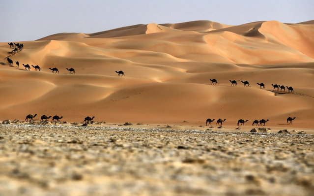 Camels walk along sand dunes in the Liwa desert, 220 kms west of Abu Dhabi, as the Mazayin Dhafra Camel Festival takes place on December 22, 2013. (Photo by Karim Sahib/AFP Photo)