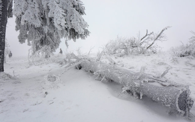 Trees are covered with ice and snow on top of the Feldberg mountain, in Germany January 8, 2017. (Photo by Kai Pfaffenbach/Reuters)