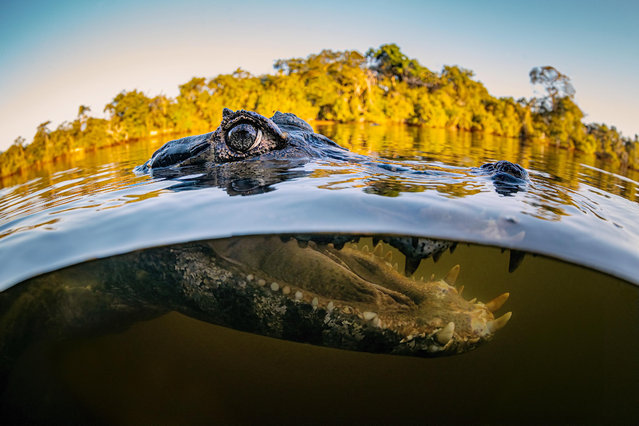 A caiman in the Pantanal region of Brazil in 2021. They are used to seeing humans, allowing the photographer, Leighton Lum, a close-up shot. (Photo by Leighton Lum/Caters News Agency)