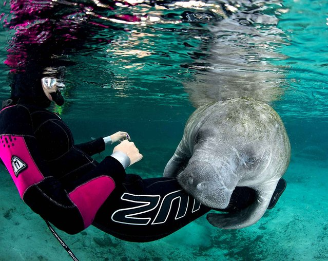 Diver Margaux Maes receives a hug from a manatee in Florida. The marine mammals – which can weigh more than a tiger shark – are usually known for shying away from humans. (Photo by Ellen Cuylaerts/Caters News)