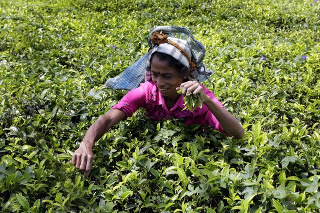 A picture made available on 17 March 2016 shows Balasingham Prameela , 38 years, plucking tea leafs  an estate at Hatton 127 kms from Colombo, Sri Lanka 12 March 2016. History says that south Indian Tamils were brought to the island as laborers by the British who ruled the Island completely for about 150 years till independence was granted in 1948. This Indian origin minority Tamil population has swelled up to 800,000 with the majority still living and working in tea and rubber estates in the Central part of the Island. (Photo by M.A.Pushpa Kumara/EPA)