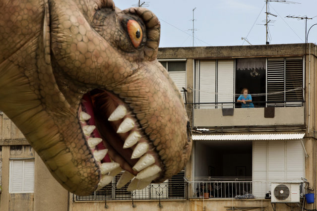An Israeli spectator watches a giant T-Rex balloon during the Purim parade festival in Petah Tikva, Israel,  Thursday, March 24, 2016. The Jewish holiday of Purim commemorates the Jews' salvation from genocide in ancient Persia, as recounted in the Book of Esther. (Photo by Oded Balilty/AP Photo)