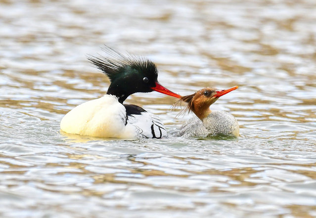 Scaly-sided or Chinese mergansers (Mergus squamatus, male on left, female on right) in Yichun, Heilongjiang, China on April 24, 2019. (Photo by Costfoto/Barcroft Images)