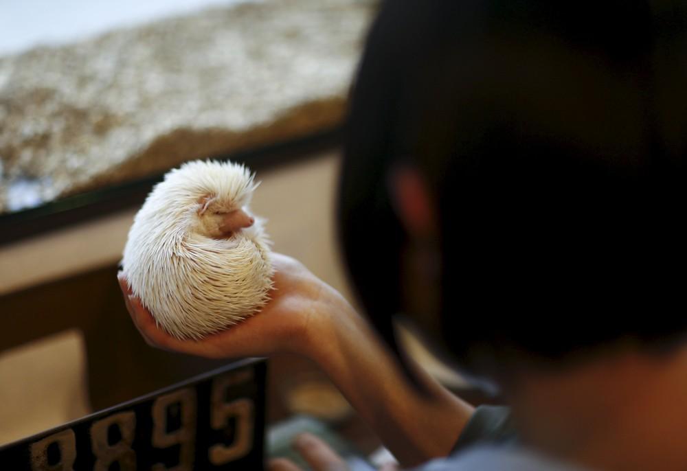 Tokyo's Hedgehog Cafe