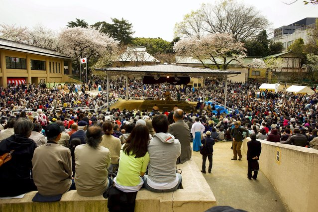 "People watch the ""Honozumo"" ceremonial sumo tournament at the Yasukuni Shrine in Tokyo April 3, 2015. (Photo by Thomas Peter/Reuters)"