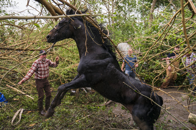 Family and neighbors work together with support from first responders to free a horse from a pool of water and mud in dense trees on May 29, 2019 in Linwood, Kansas. Owner Javier Campos suspects the tornado picked the horse up and carried it nearly three football fields away from their destroyed horse barn. The Midwest has seen extensive severe weather this spring with widespread flooding and multiple tornadoes. (Photo by Kyle Rivas/Getty Images)