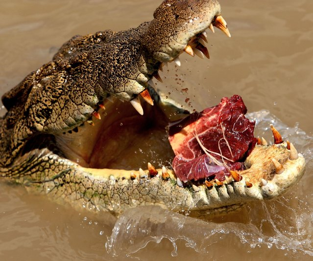 An Saltwater crocodile eats meat outside the Adelaide River in the Northern Australia. (Photo by Greg Wood/AFP Photo)