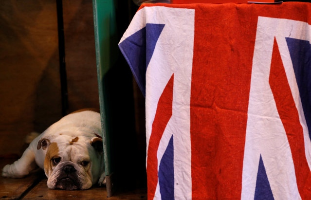A British Bulldog looks from its bench during the second day of the Crufts Dog Show in Birmingham, Britain March 10, 2017. (Photo by Darren Staples/Reuters)