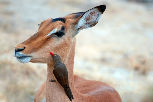 Everybodys got a mobile phone these days, and it seems this impatient impala wants to join in the trend. (Photo by Caters News)