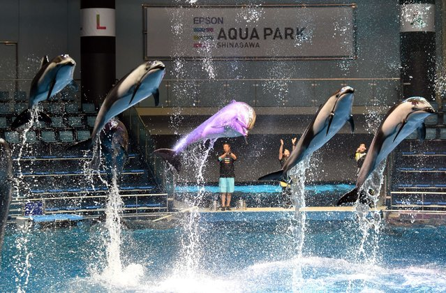 Dolphins jump into the air during a press preview of the soon to be re-opened Aqua Park Shinagawa in Tokyo on July 6, 2015. The aquarium will re-open on July 10 with new attractions including a pirate ship ride and a merry-go-round. (Photo by Toshifumi Kitamura/AFP Photo)