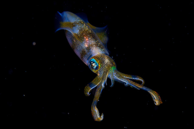 Young wildlife photographer of the year and 11-14 years winner: Night Glow by Cruz Erdmann. Erdmann was on an organised night dive in the Lembeh strait off North Sulawesi, Indonesia. It was here where he encountered the pair of bigfin reef squid. They were engaged in courtship, involving a glowing, fast‑changing communication of lines, spots and stripes of varying shades and colours. One immediately jetted away, but the other – probably the male – hovered just long enough for Cruz to capture one instant of its glowing underwater show. (Photo by Cruz Erdmann/2019 Wildlife Photographer of the Year)