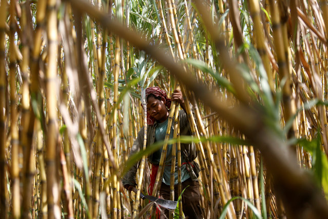 A worker chops sugar cane on the outskirts of Phnom Penh, Cambodia June 3, 2016. (Photo by Samrang Pring/Reuters)