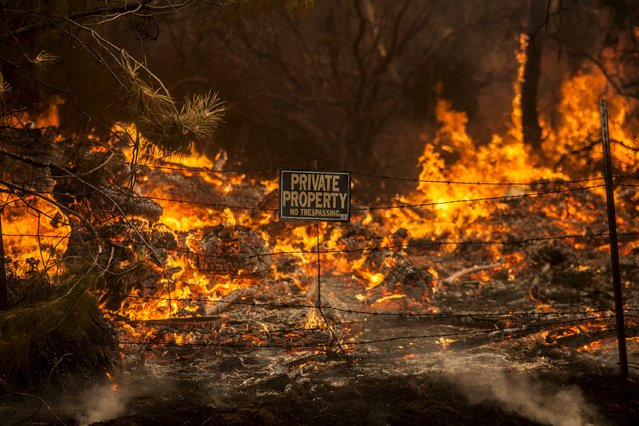 The Rocky Fire burns through a fence line in Lake County, California July 30, 2015. (Photo by Max Whittaker/Reuters)