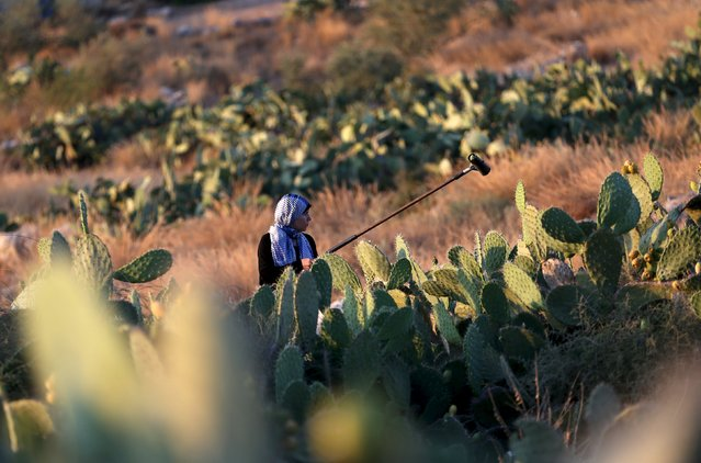 A Palestinian woman collects cactus fruit in a field in the West Bank village of Nilin, near Ramallah, July 29, 2015. (Photo by Mohamad Torokman/Reuters)