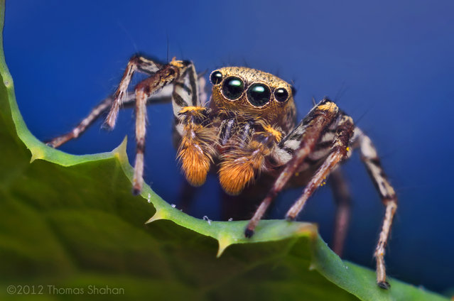 Male Dimorphic Jumping Spider (Maevia inclemens)