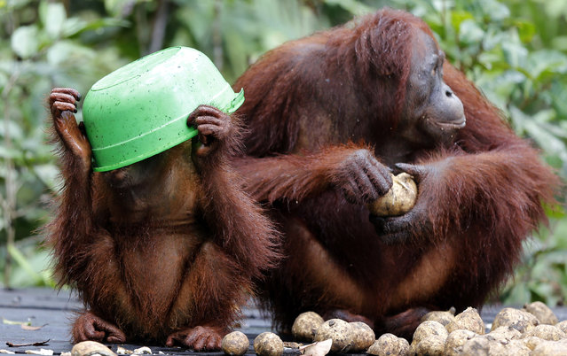 A baby orangutan tries to find more milk in a bucket by placing it over his head on a feeding platform at Camp Leakey in Tanjung Puting National Park, in Kalimantan (Indonesian Borneo), Indonesia, September 3, 2013. (Photo by Barbara Walton/EPA)