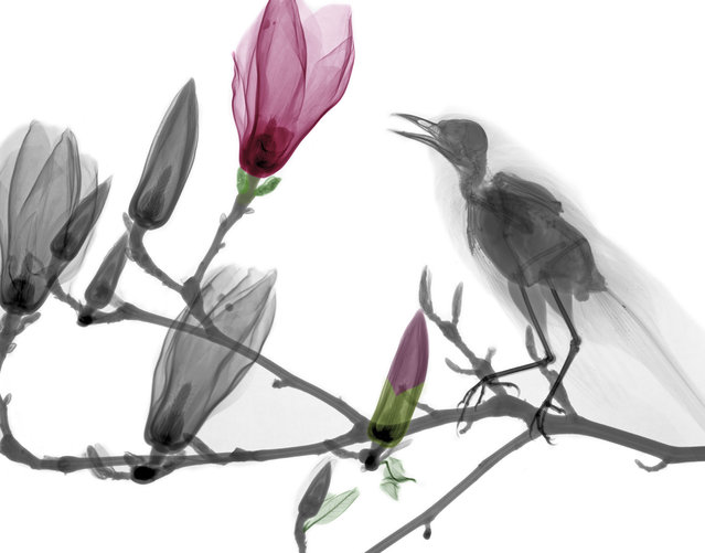 Blackbird. Coloured X-ray of a blackbird (Turdus merula) on the branch of a Magnolia sp. tree. A physicist has used X-ray to create an extraordinary collection of artwork. Arie van't Riets pictures reveal birds, fish, monkeys and flowers in an incredible new light. The 66-year-old, from Bathmen in the Netherlands, began X-raying flowers as a means to teach radiographers and physicians how the machine worked. But after adding a bit of colour to the pictures, the retired medical physicist realised the potential for an exciting new collection of art. (Photo by Arie van't Riet/Barcroft Media)
