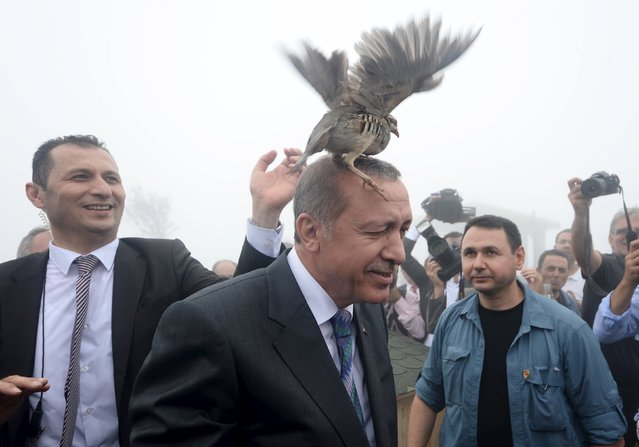 A grouse sits on Turkish President Tayyip Erdogan's head as he visits a facility of the Forest and Water Management Ministry in Rize, Turkey, August 14, 2015. Turkey's nationalist opposition made clear on Friday it would not roll over and back a minority government, making Erdogan's aim of taking the country to a snap election with the ruling party in control look increasingly difficult. (Photo by Reuters/Stringer)