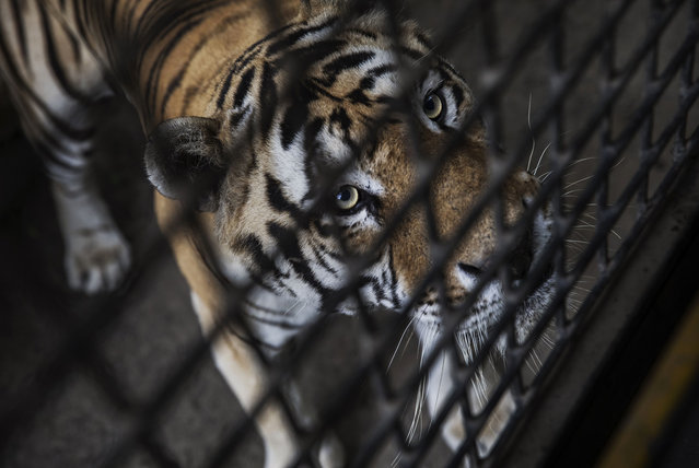 A Siberian Tiger waits to be fed by Chinese tourists in a bus at the Heilongjiang Siberian Tiger Park on August 16, 2017 in Harbin, northern China. (Photo by Kevin Frayer/Getty Images)