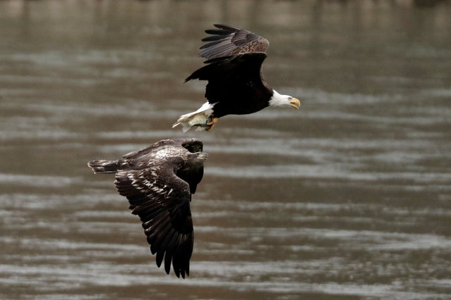 A juvenile bald eagle, bottom, eyes a fish caught byan adult bald eagle while flying over the Susquehanna River, Friday, December 6, 2019, in Havre De Grace, Md. (Photo by Julio Cortez/AP Photo)