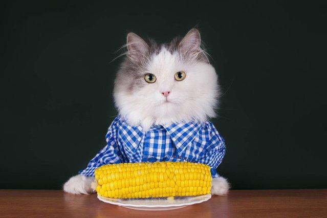 Corn on the cob for hipster kitty. (Photo by Svetlana Valyiskaya/Mercury)