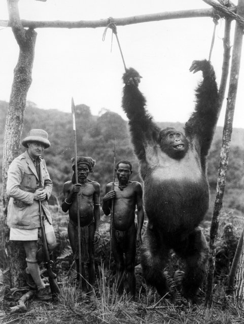 British Captain A. Gatti and two pygmies with a 500lb gorilla strung from a pole, which the captain shot in the Tchibinda forest in the Lake Kivu region, Democratic Republic of the Congo, circa 1930. (Photo by General Photographic Agency)