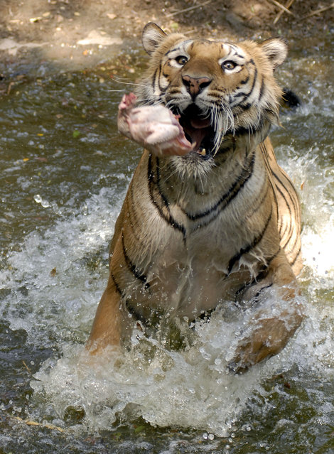 A Royal Bengal tiger tries to catch a piece of chicken inside its enclosure at Nehru Zoological Park in Hyderabad March 17, 2009. (Photo by Krishnendu Halder/Reuters)